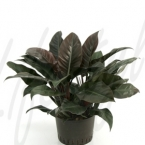 Philodendron red 36