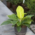 Philodendron 37