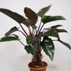 Philodendron congo red 3