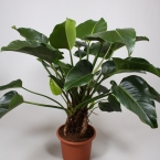 Philodendron congo 1