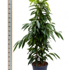 2 Ficus Amster King