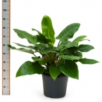 41 Philondendron Green